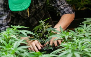 why cannabis farms need to think about skin protection for employees